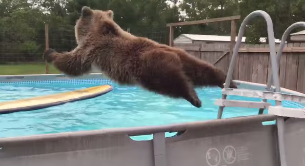 bear jumps in pool